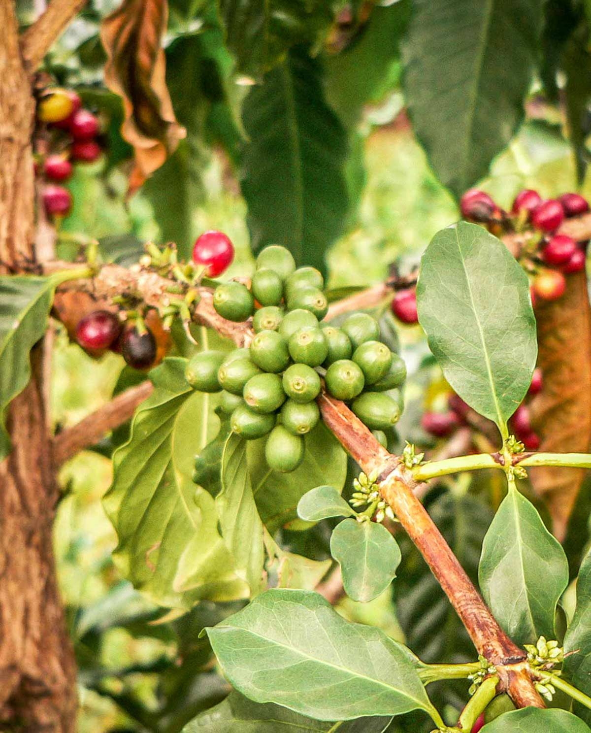 Organic Coffee on the Vine